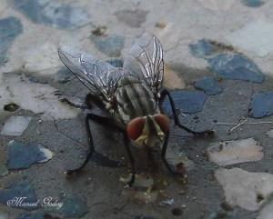 ¿Invasión de moscas caseras?