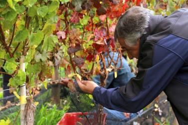 gerardo vino uvas 1